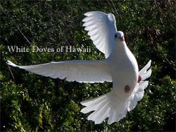Hawaiian dove